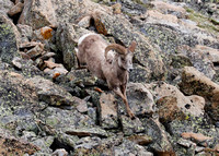 Mountain Sheep_MM_6280